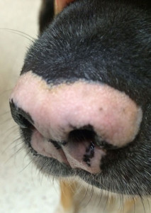 Pet Case Study: Vitiligo-Max before therapy