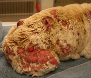 Severe dog skin cancer