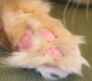 Cat immune mediated skin disease
