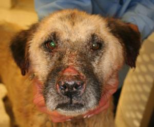 Dog immune mediated skin disease
