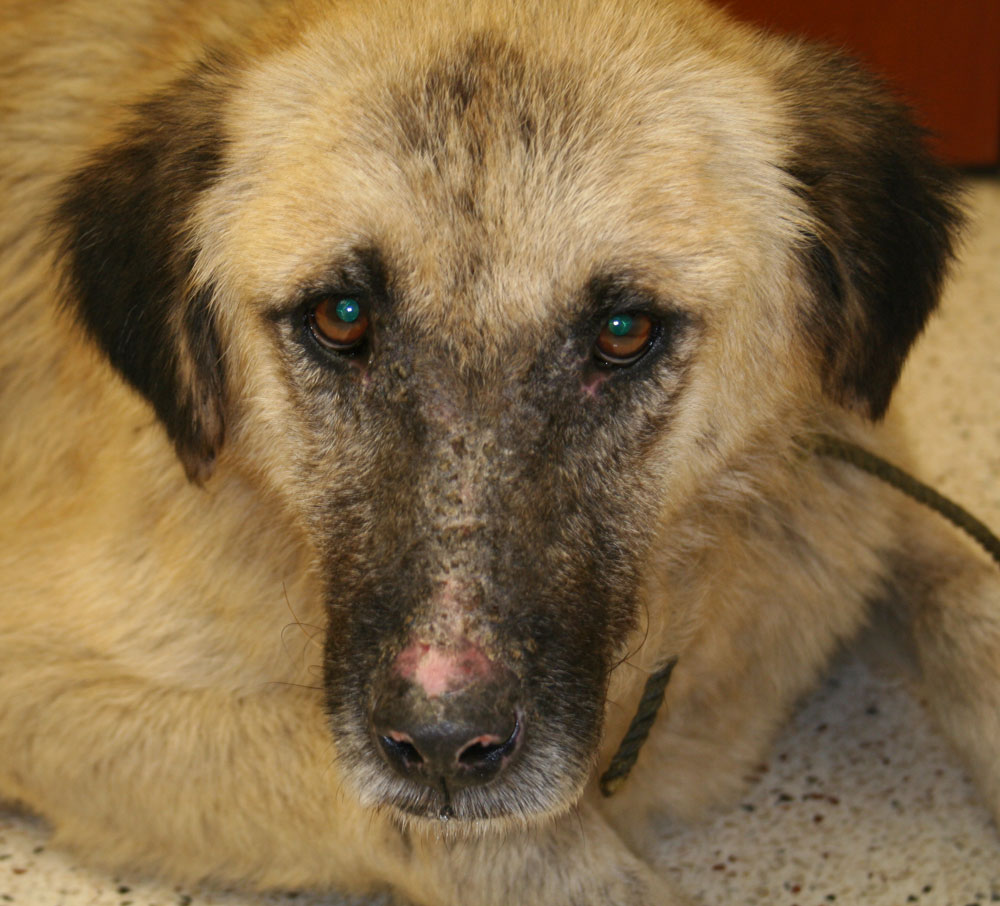 polyarthritis in dogs