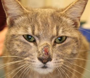 Cat systemic fungal infection improving